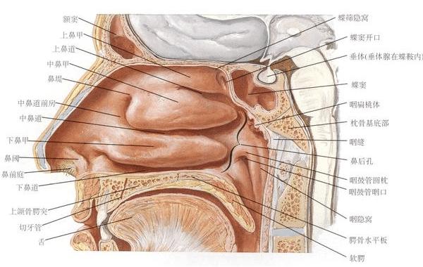 腺样体肥大图解